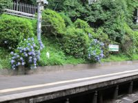 hydrangeas growing by the subway